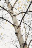 Resorte temprano en un bosque del abedul Foto de archivo libre de regalías