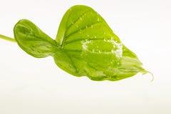 Respingo da água fresca nas folhas Imagens de Stock