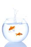 Respingo do Goldfish imagem de stock royalty free