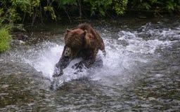 Respingo do urso Foto de Stock