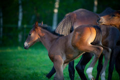 Respinta del Foal Immagini Stock