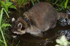 Respiraciones ruidosas leashed de un mapache en agua Fotografía de archivo