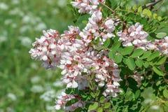 Respiradero del viscosa del Robinia Imagen de archivo libre de regalías