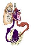 Respiration. Illustration of anatomy of respiration Royalty Free Stock Photos