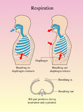 Respiration. Graphical representation of the breathing Royalty Free Stock Images