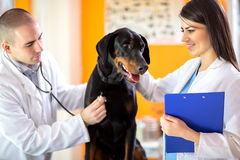 Respiration checkup of Great Done dog in vet clinic Stock Photos