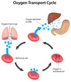 Respiration Cycle Blood Labeled Royalty Free Stock Images