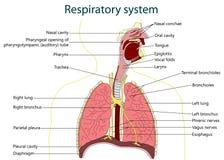 Respiratorisk sytem också vektor för coreldrawillustration Royaltyfri Foto