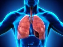 respiratoriskt system för digital mänsklig illustration Royaltyfria Foton