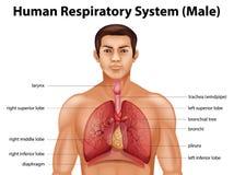 respiratoriskt system för digital mänsklig illustration Royaltyfria Bilder