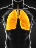 respiratoriskt system för digital mänsklig illustration royaltyfri illustrationer