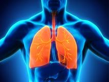 respiratoriskt system för digital mänsklig illustration Royaltyfri Bild