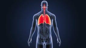 Respiratoriskt system och hjärta med anatomi stock video