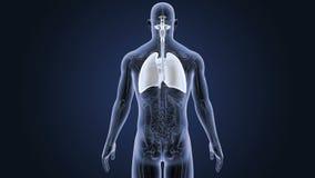 Respiratoriskt system och hjärta med anatomi lager videofilmer