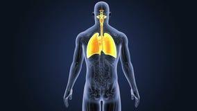 Respiratoriskt system och hjärta med anatomi stock illustrationer