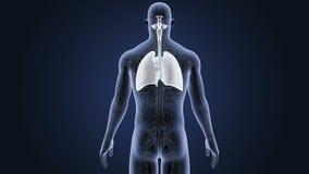 Respiratoriskt system och hjärta med artärer och åder royaltyfri illustrationer