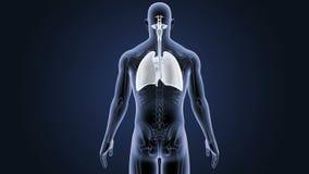 Respiratoriskt system och hjärta med den skelett- kroppen stock video