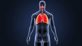 Respiratoriskt system och hjärta med den skelett- kroppen stock illustrationer