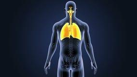 Respiratoriskt system och hjärta med den skelett- kroppen vektor illustrationer