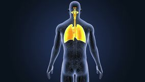 Respiratoriskt system och hjärta med det cirkulations- systemet arkivfilmer