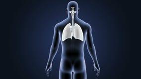 Respiratoriskt system och hjärta med kroppen vektor illustrationer