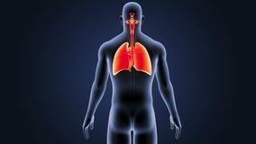 Respiratoriskt system och hjärta med kroppen stock illustrationer