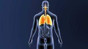 Respiratoriskt system och hjärta med organ vektor illustrationer