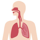 The respiratory organs Royalty Free Stock Photos