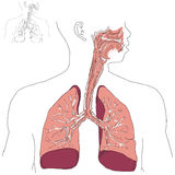 Respiratory system and Actinomycosis Stock Photography