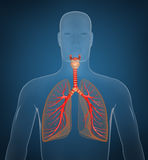 Respiratory system on blue background Royalty Free Stock Images