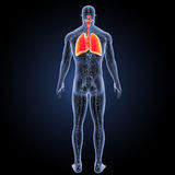 Respiratory System and Heart with circulatory system posterior view. When you breathe in, your respiratory system receives fresh oxygen. The oxygen first goes Royalty Free Stock Image