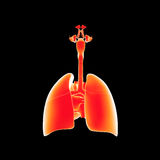 Respiratory system and heart posterior view stock illustration