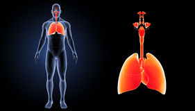 Respiratory System and Heart zoom with body anterior view vector illustration