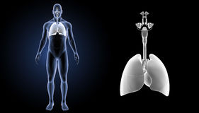 Respiratory System and Heart zoom with body anterior view. When you breathe in, your respiratory system receives fresh oxygen. The oxygen first goes into your Royalty Free Stock Photos