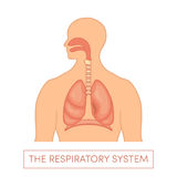 Respiratory system. The respiratory system of a human. Cartoon  illustration of a caucasian man Stock Photography