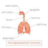 Respiratory system. The respiratory system of a human. Cartoon  illustration of a caucasian man Stock Image