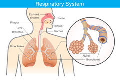 Respiratory system of human. Stock Images