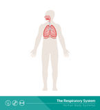 The respiratory system. The human respiratory system medical illustration with internal organs Royalty Free Stock Photos