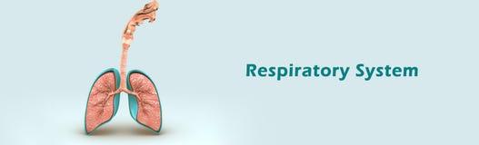 Respiratory System Stock Image
