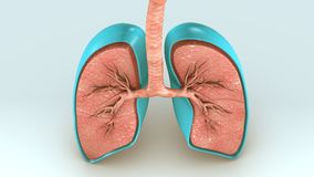 Respiratory System. The human respiratory system is a series of organs responsible for taking in oxygen and expelling carbon dioxide. The primary organs of the Royalty Free Stock Photos