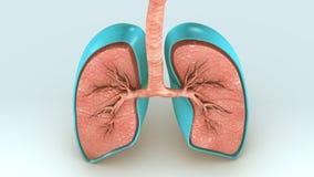 Respiratory System Royalty Free Stock Photos
