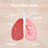 Respiratory system Royalty Free Stock Images