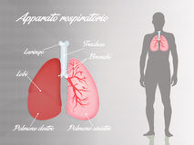 Respiratory system Stock Images