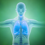 Respiratory system scientific Royalty Free Stock Photo