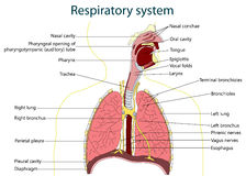 Respiratory sytem. vector illustration. Vector illustration of respiratory system Royalty Free Stock Photo