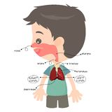 Respiratory tract. To facilitate the child in learning Royalty Free Stock Image