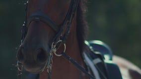 Respirazione del cavallo nero Narici del cavallo Il cavallo in cablaggio stock footage
