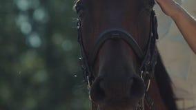 Respirazione del cavallo nero Narici del cavallo Il cavallo in cablaggio archivi video