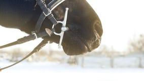 Respirazione del cavallo nero nell'inverno Movimento lento archivi video