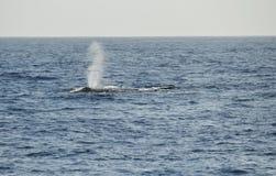 Respire de una ballena jorobada foto de archivo libre de regalías